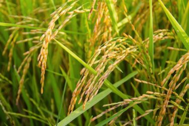 山田錦生産量日本一の三木市でふるさと納税すると純米大吟醸「聖母SHOWMO」がもらえる